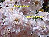 Хризантема гілкова Медея, фото 4