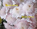 Хризантема гілкова Медея, фото 5
