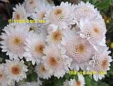 Хризантема гілкова Медея, фото 2