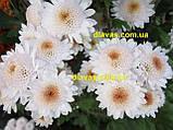 Хризантема гілкова Медея, фото 6