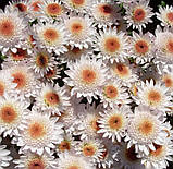 Хризантема гілкова Медея, фото 7