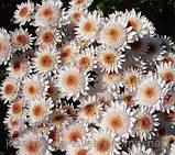 Хризантема гілкова Медея, фото 8