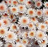 Хризантема гілкова Медея, фото 9