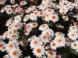 Хризантема гілкова Медея, фото 10