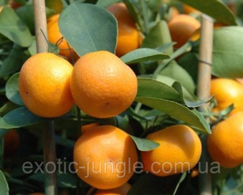 Кумкват Кукле (Citrus x 'Kucle') 20-25 см. Комнатный, фото 1