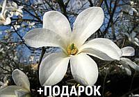 Магнолия кобус семена 10 шт (Magnolia kobus) для саженцев насіння магнолія на саджанці, фото 1