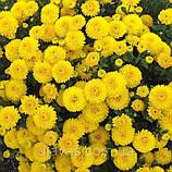 Хризантема низькоросла КНОПА бордюрна, фото 2