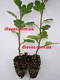 Хризантема низькоросла КНОПА бордюрна, фото 5