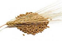 Семена яровой пшеницы Династия (элита)