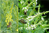 Смесь семян Донника белого двухлетнего (60%) и Желтого (40%) 1 кг