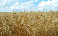 Семена яровой пшеницы Улюблена (элита)