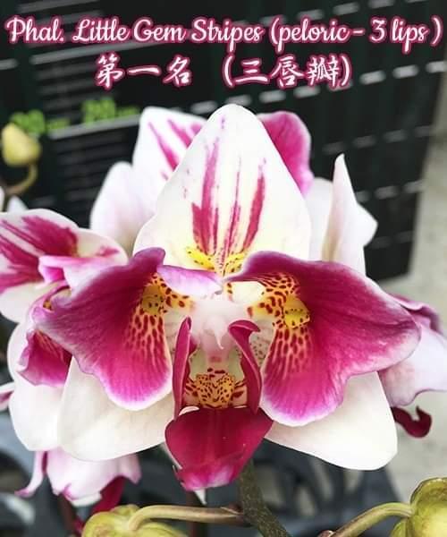 """Підлітки орхідеї. Сорт Phal. Little gem stripes (peloric), горщик 1.7"""" без квітів"""