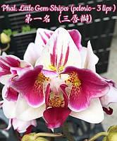 "Подростки орхидеи. Сорт Phal. Little gem stripes (peloric), горшок 1.7"" без цветов, фото 1"