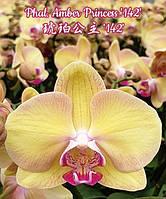 """Подростки орхидеи. Сорт Amber Princess, размер 1.7"""" без цветов"""