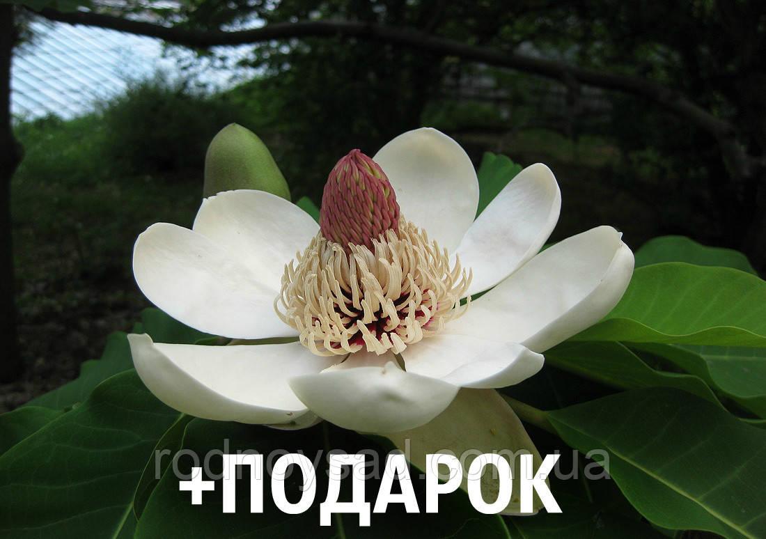 Магнолия обратнояйцевидная семена 10 шт (Magnolia obovata) для саженцев насіння магнолія на саджанці