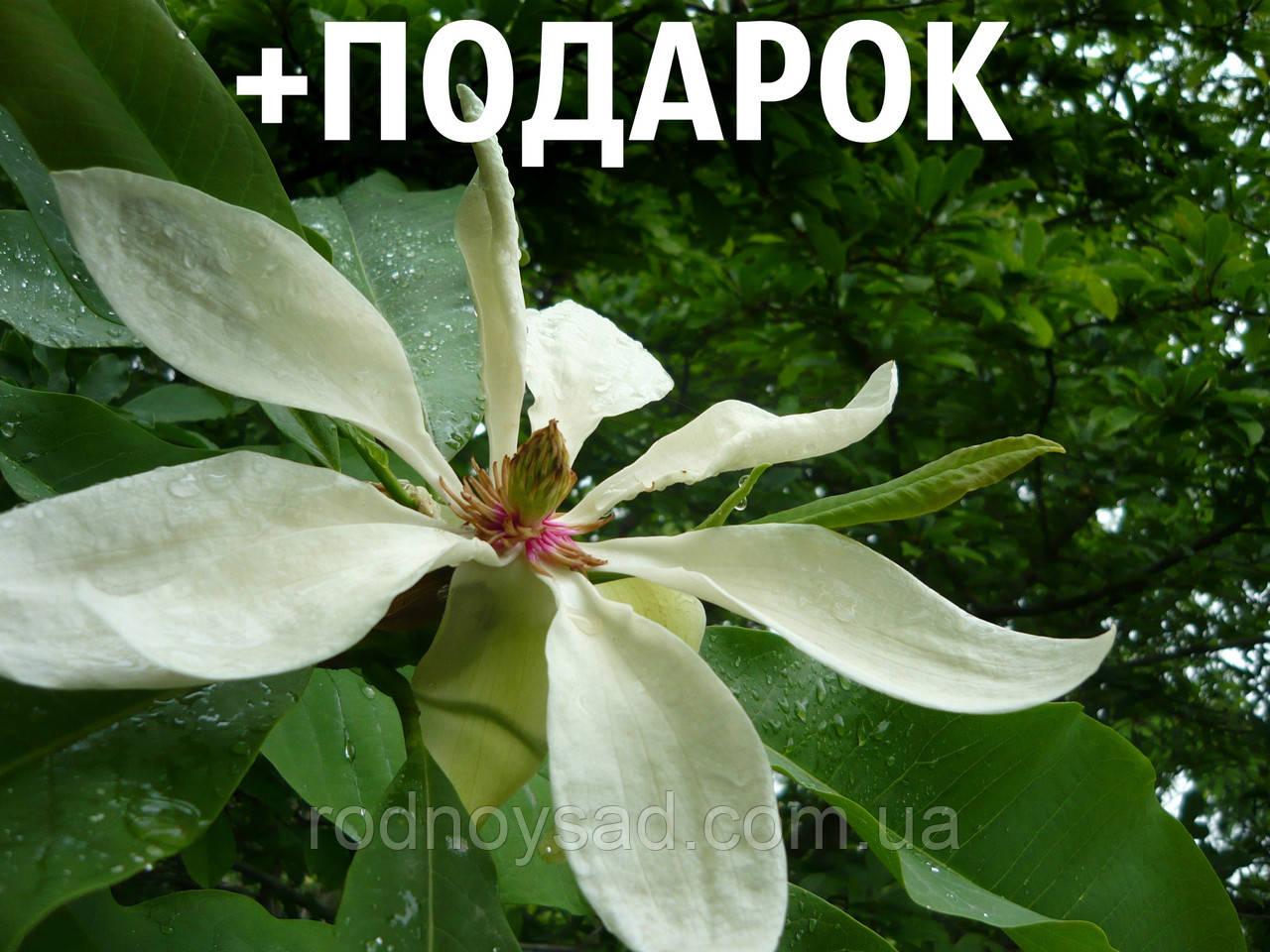 Магнолия трёхлепестная семена 10 шт (Magnolia tripetala) для саженцев насіння магнолія на саджанці