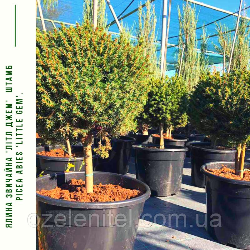 Ялина звичайна 'Літл Джем'  ШТАМБ 30 см Picea abies 'Little Gem'