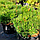 Сосна гірська 'Пуміліо' Pinus mugo 'Pumilio' с3, фото 3