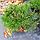 Сосна гірська 'Пуміліо' Pinus mugo 'Pumilio' с3, фото 2