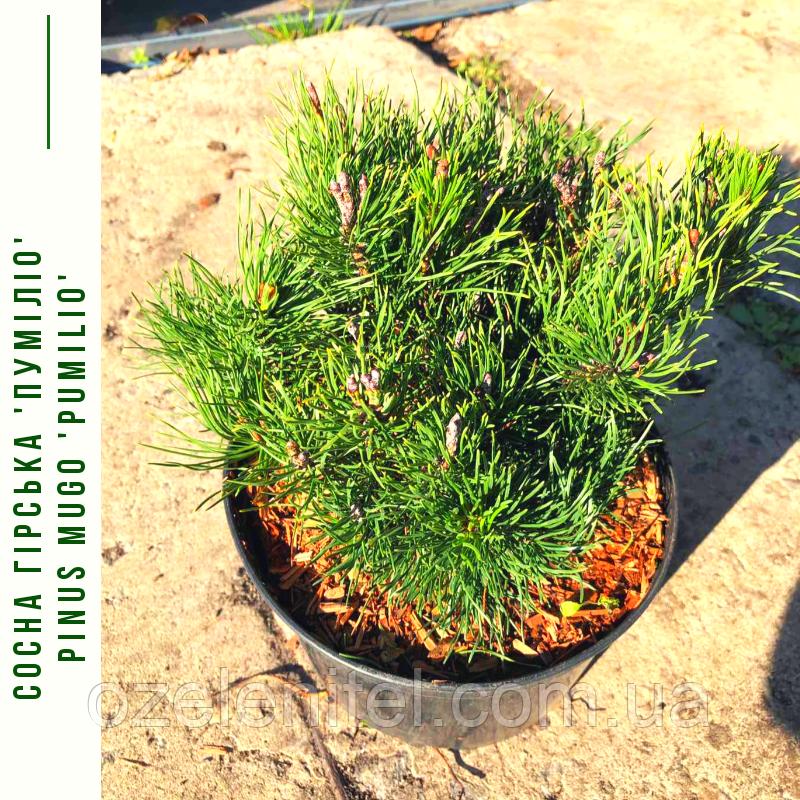 Сосна гірська 'Пуміліо' Pinus mugo 'Pumilio' с3