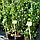 Плющ ірландський, вічнозелений/ Hedera hibernica с3, фото 2
