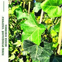 Плющ ірландський, вічнозелений/ Hedera hibernica с3