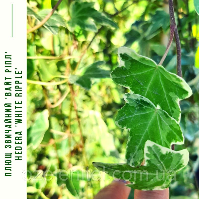 Плющ звичайний, вічнозелений 'Вайт Ріпл'/ Hedera 'White Ripple' с3