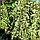 Плющ звичайний, вічнозелений 'Вайт Ріпл'/ Hedera 'White Ripple' с3, фото 2