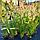 Пенісетум, Pennisetum alopecuroides с3, фото 2