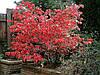 Бересклет. Бересклет — листопадные и вечнозеленые невысокие деревья или кустарники