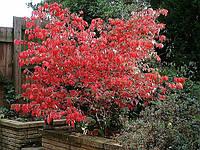 Бересклет. Бересклет — листопадные и вечнозеленые невысокие деревья или кустарники, фото 1