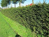 Ель — род вечнозеленых хвойных растений