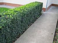 Самшит. Широко распространен в озеленении