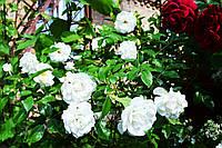 """Штамбовая роза """"Povna Bila"""" С15, фото 1"""