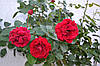 "Штамбовая роза ""Burgund chervona"" С15"