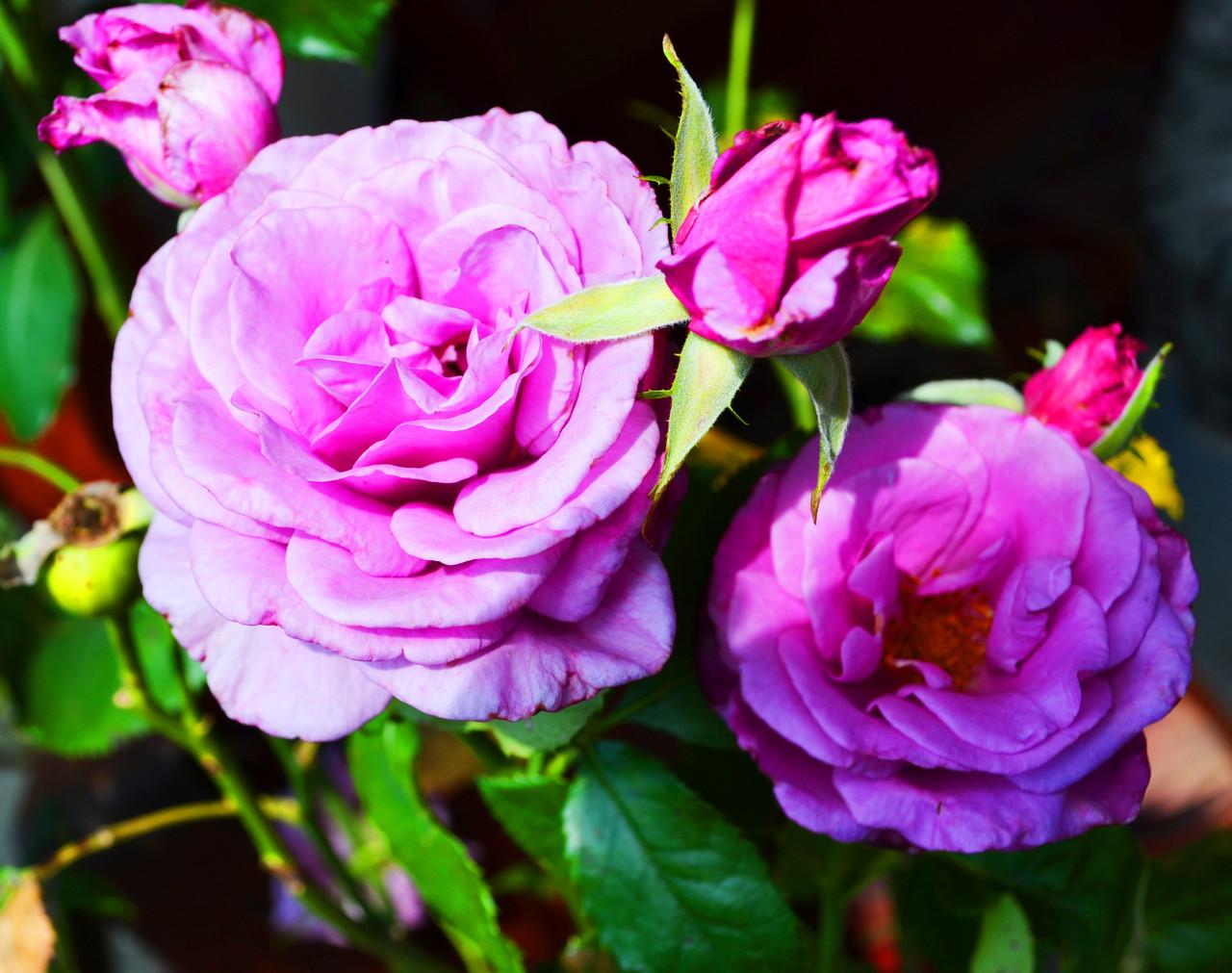 Роза на штамбе С15