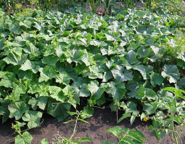 Урожай огірків.