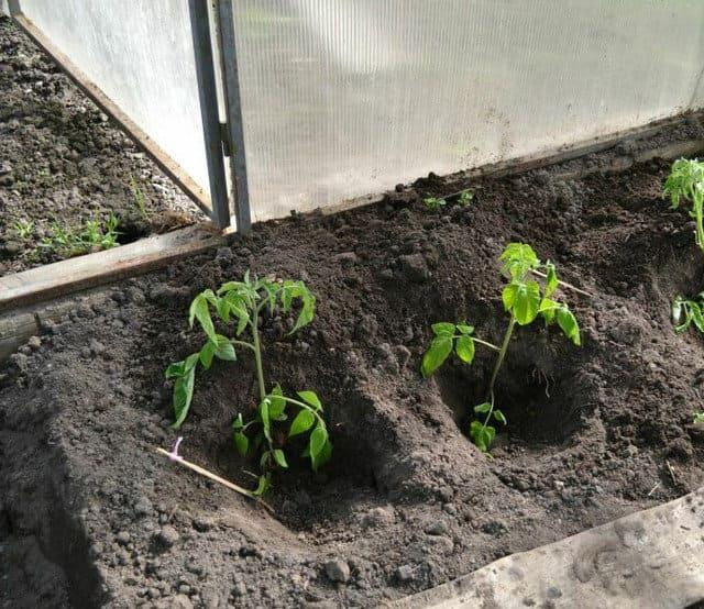 Питательные удобрения для рассады томатов
