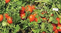 Як часто потрібен полив помідорів в теплиці