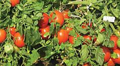 Как часто нужен полив помидоров в теплице