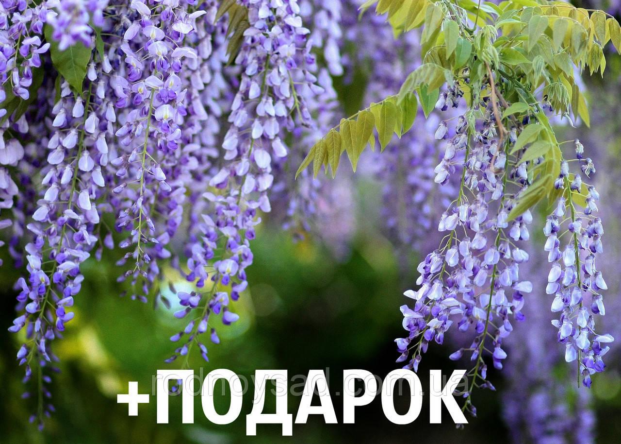 Глициния семена 10 шт (вистерия) для саженцев насіння на саджанці