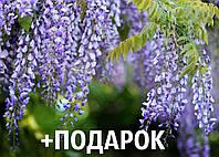 Глициния семена 10 шт (вистерия) для саженцев насіння на саджанці, фото 1
