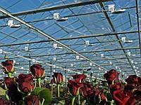 Культивування троянд в теплицях