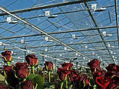 Культивирование роз в теплицах