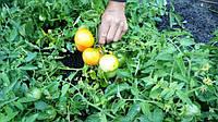 Выращивание томата в теплице