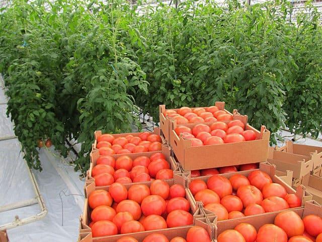 томата в теплицы зимой