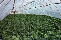 Рання капуста. Особливості посадки і догляду, строки садіння розсади.