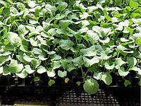 Поздняя капуста в теплице. Особенности выращивания рассады.