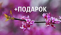 Церцис европейский семена 10 шт (багряник, иудино дерево,Cercis siliquastrum) для саженцев насіння на саджанці, фото 1