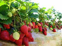 Правила огородников: выбираем лучшие сорта ремонтантной клубники